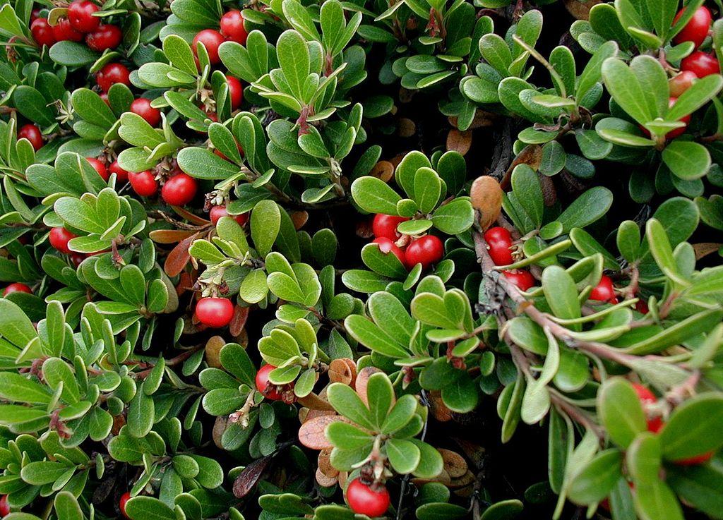 Blasenentzündung Hausmittel blasenentzuendungheilen Bärentraubenblätter Tee zur Behandlung von Harnwegsinfektionen