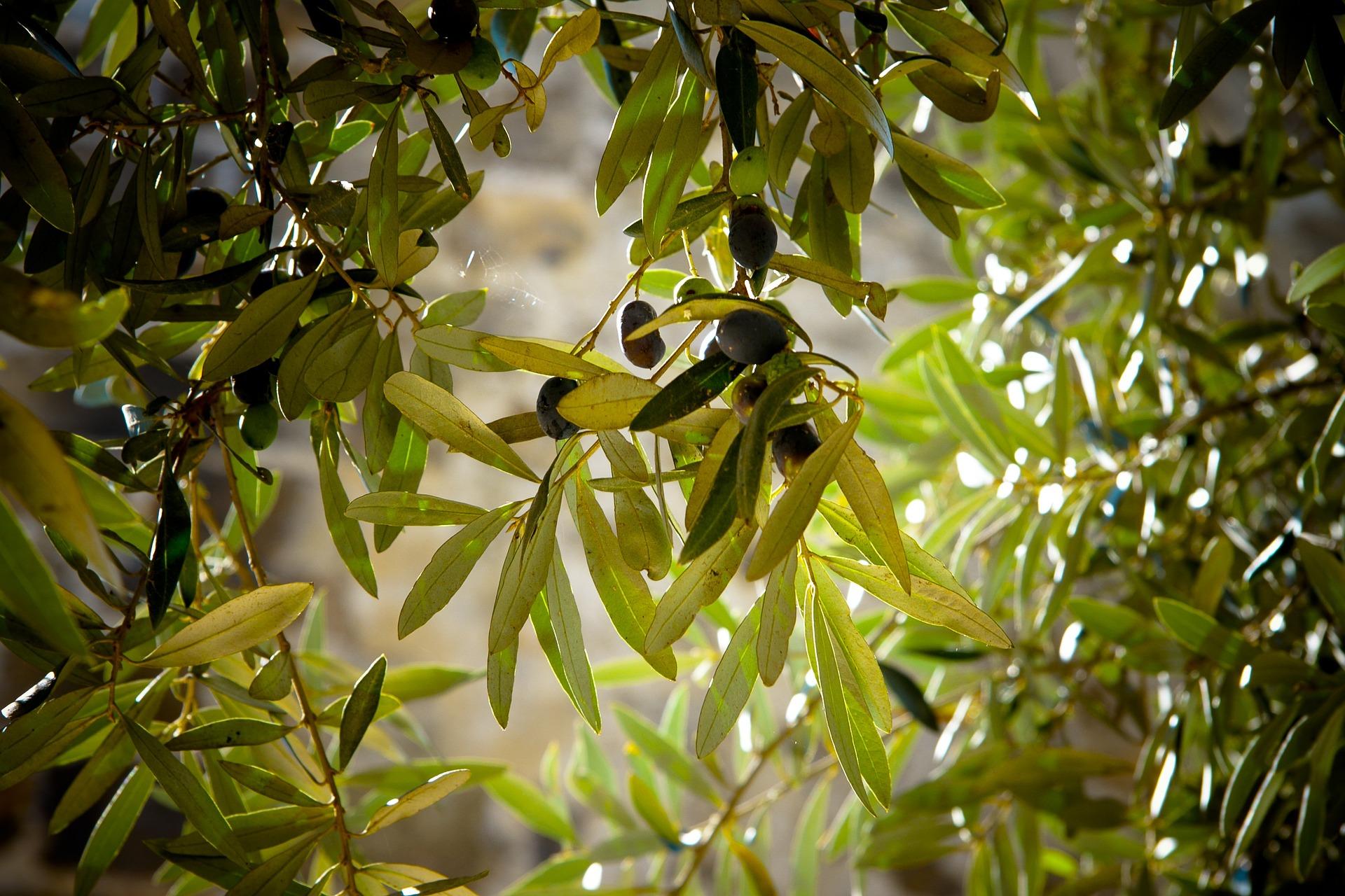 Olivenblattextrakt bei Blasenentzündungen
